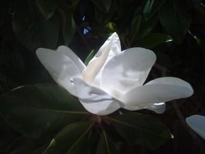 Magnolia, copyright2010  J Stacey